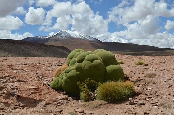 Bolivian Altiplano, Yareta (Azorella Compacta) on the Lava Fields of Ollagüe