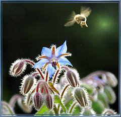 Biene zielt auf Borretsch... ©UdoSm