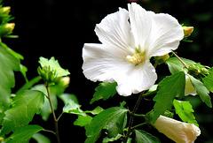 ... hibiscus ...