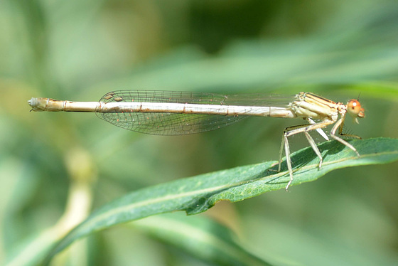 White Featherleg f (Platycnemis latipes)