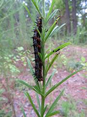 Unidentified caterpillar A