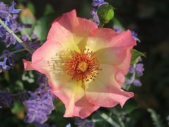 "La rose ""Mme de Grignan"", Grignan, Drôme (France)"