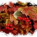 #16 Autumn Berries