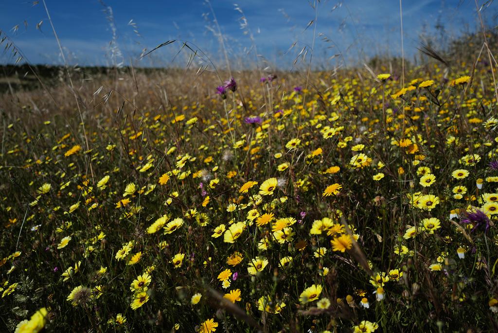 Penedos, Still flowery