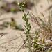 Linaria arenaria - 2016-04-28_D4_DSC7095