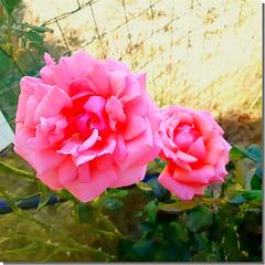 Les dernières roses envoyées par mon ami