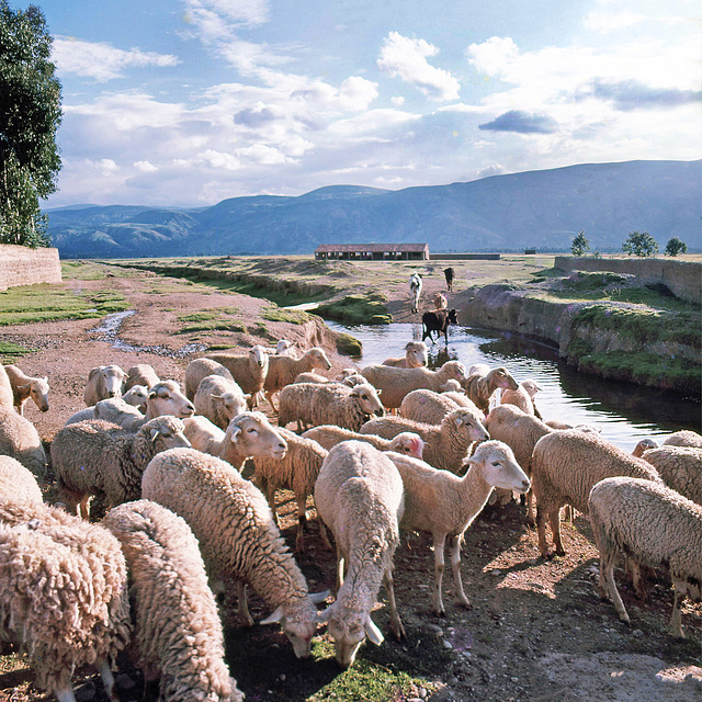 Sheep crossing - Huancayo- Perú