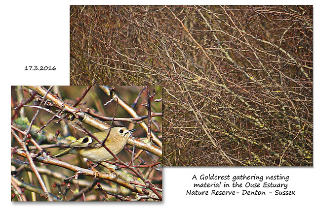 Goldcrest Ouse Estuary Nature Reserve - Denton - Sussex - 17.3.2016