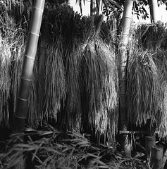 Rice hung up to dry in bamboo grove