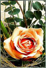 Rose with young Eucalyptus leaves. ©UdoSm
