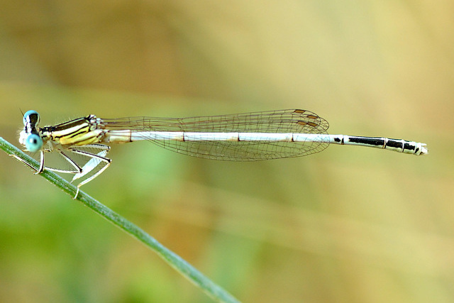 White Featherleg m (Platycnemis latipes)