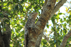 A Great Potoo