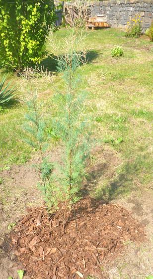 Sommertamariske hellrosa - Tamarix ramosissima