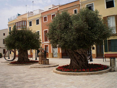 Old olive trees.