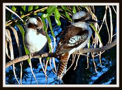 Young Kookaburras