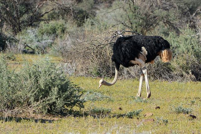 Namibia, Erindi Game Reserve, Ostrich in Savannah