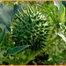 Datura Stramonium---Green two--