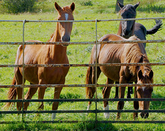 HFF Horses.