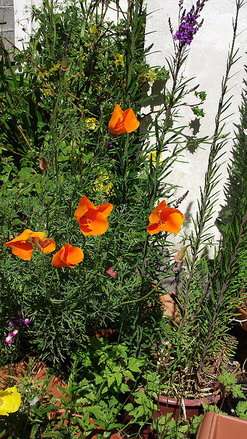 These poppies look so lovely and bright