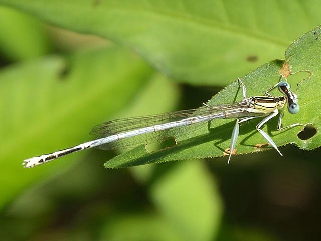 White Featherleg m (Playtcnemis latipes)