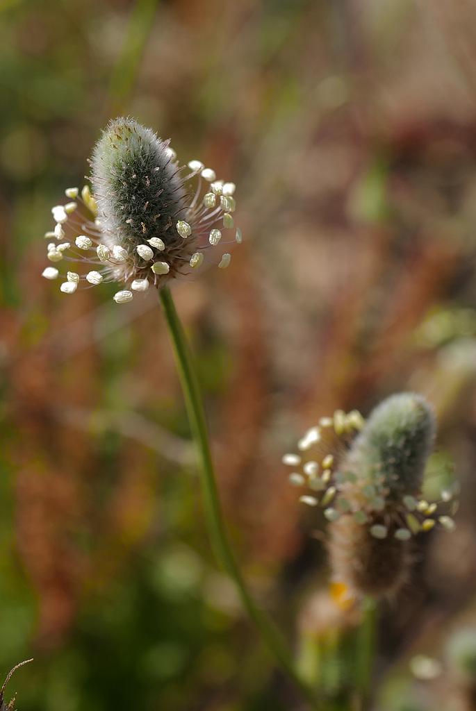 Plantago lagopus L. Lamiales  L1010788