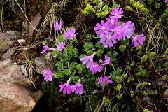 Alpenprimel - Primula clusiana