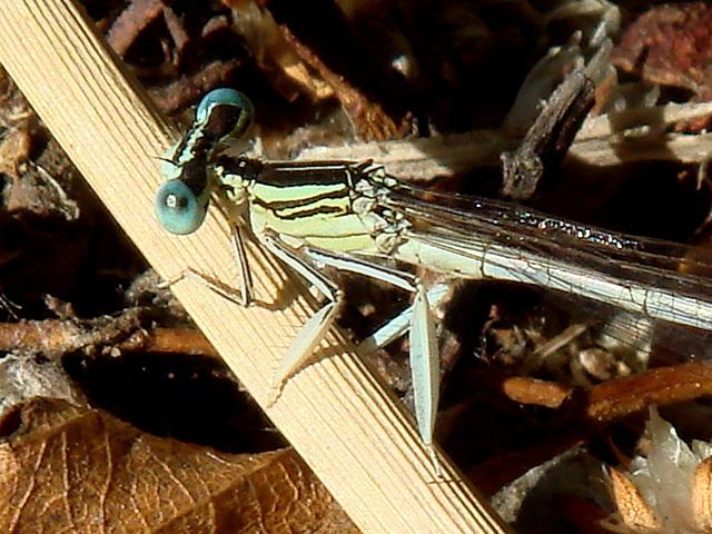 White Featherleg m legs (Platycnemis latipes)