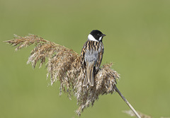 Reed Bunting (a)
