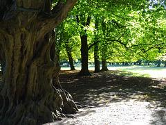 Hainbuche im Tiergarten