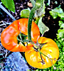 Tomatoes Ripening.