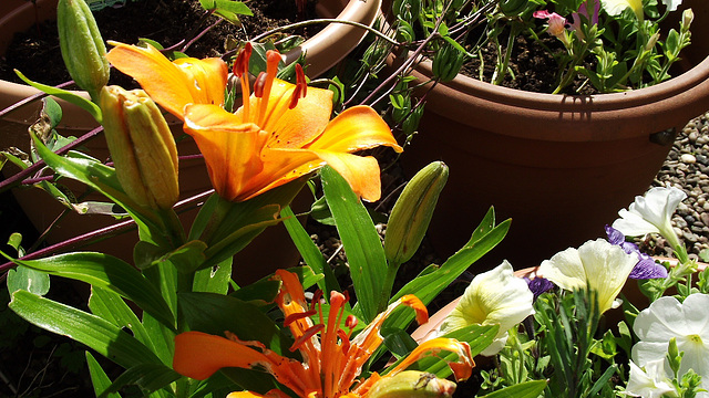 The orange lily is being eaten by a bug