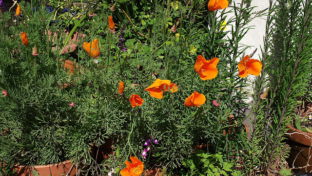 The lovely bright orange poppies