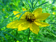 Yellow Flower with Dew Drops