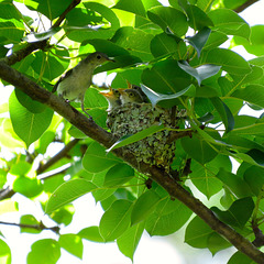 Three blue-gray gnatcatchers and one of their parents