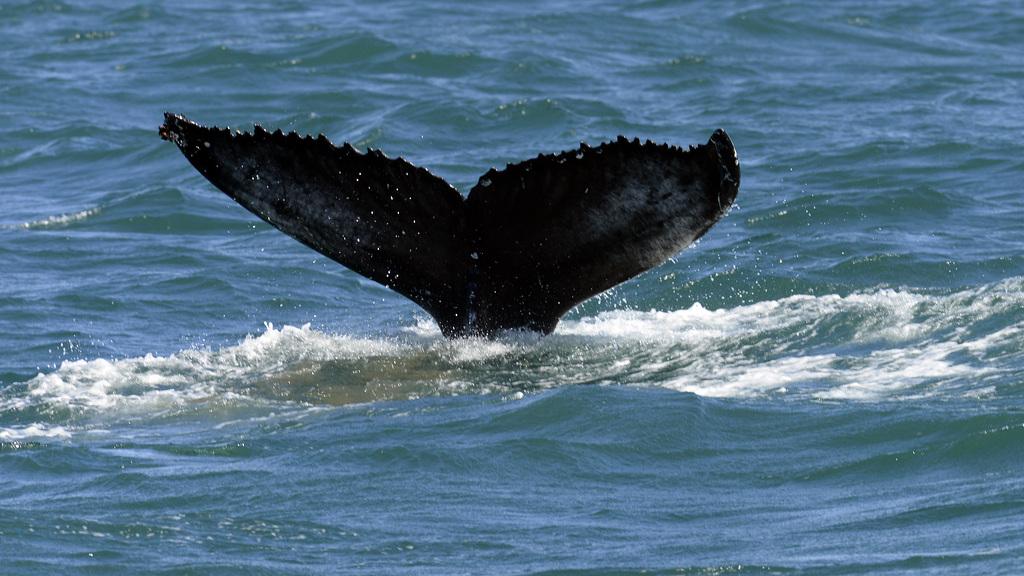 Humpback whale, Skjálfandi  DSC3362