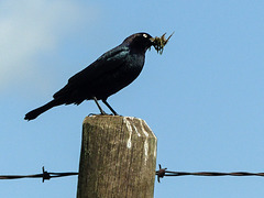 Brewer's Blackbird, collecting food for his babies