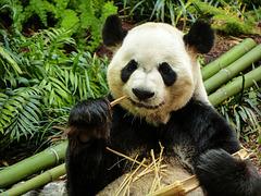 Bamboo means happy Panda