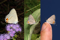 Tiny Gray Hairstreak