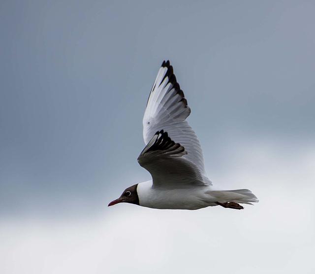 Gull in flight, New Brighton