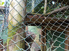 DSCN4019 - irara Eira barbara, Mustelidae Carnivora [Koda]