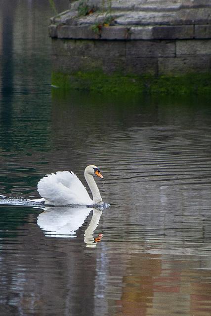 Swan on the River Leven at Dumbarton Bridge