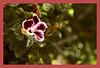 Pelargonium grandiflorum (+1PiP)