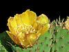 Fleur de Figuier de Barbarie.