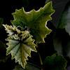 Blätter mit Flaum