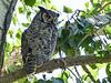 Great Horned Owl male