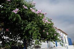 Pandorea jasminoides (Bignónia)