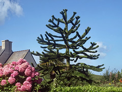 P8043367ac Young Araucaria and Pink Hydrangeas