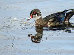 Wood Duck male / Aix sponsa