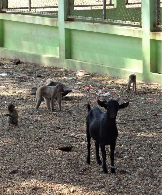 Singes et chèvres / Monkeys and goats (Laos)