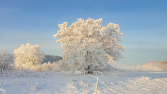 Frozen trees - frozen landscape